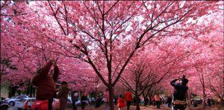 Sakura - Foto site fpsjmya ©